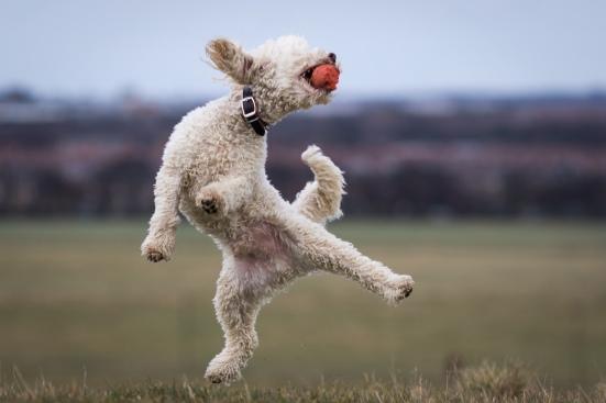 poodle dog photography